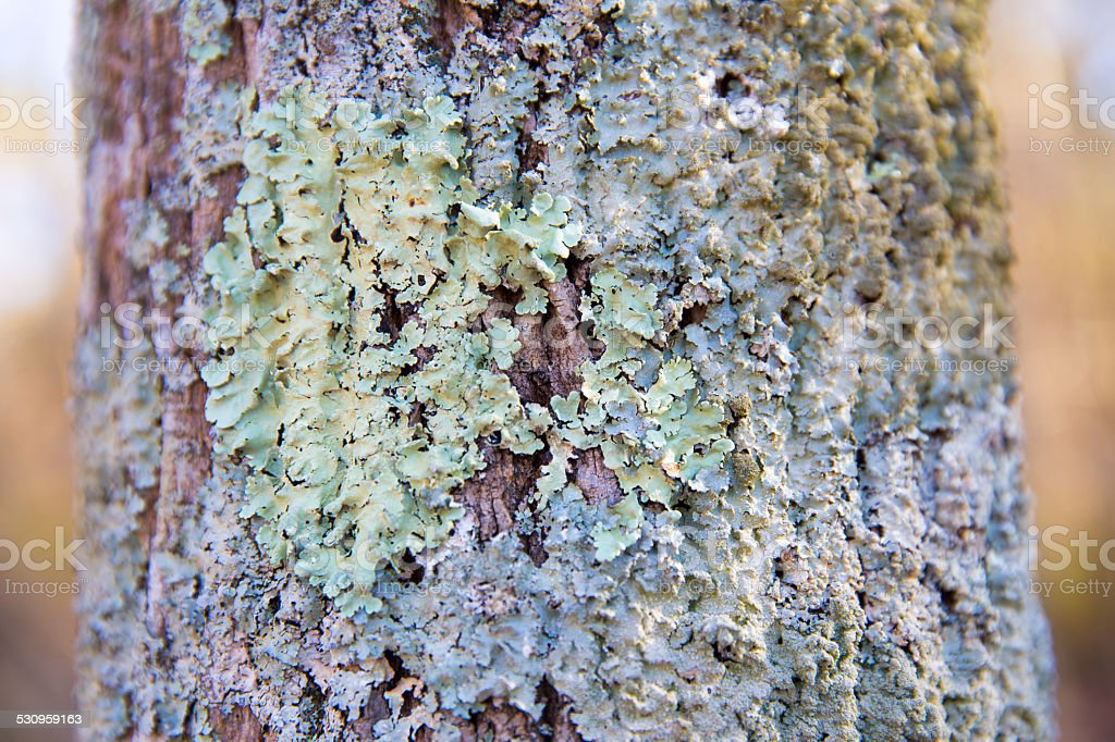Colorful Lichen on Tree Bark in the Mid Atlantic USA stock photo