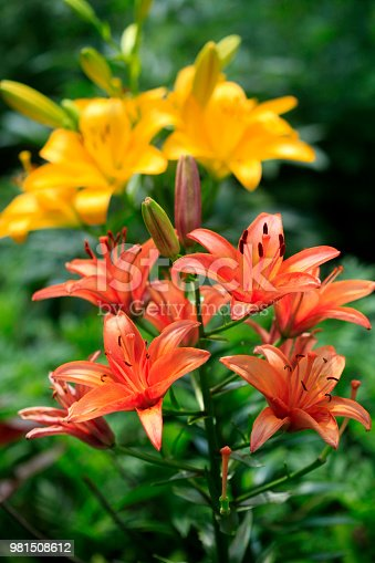 colorful lily in summer garden