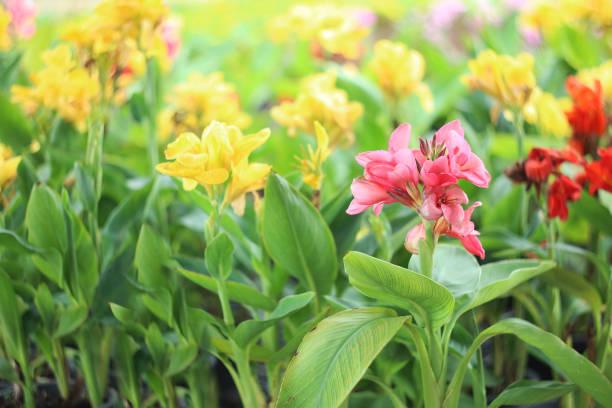 Kleurrijke lily canna bloemen. foto