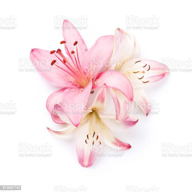 Colorful lily flowers. Isolated on white background