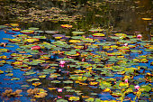 Colorful lily pads on a pond