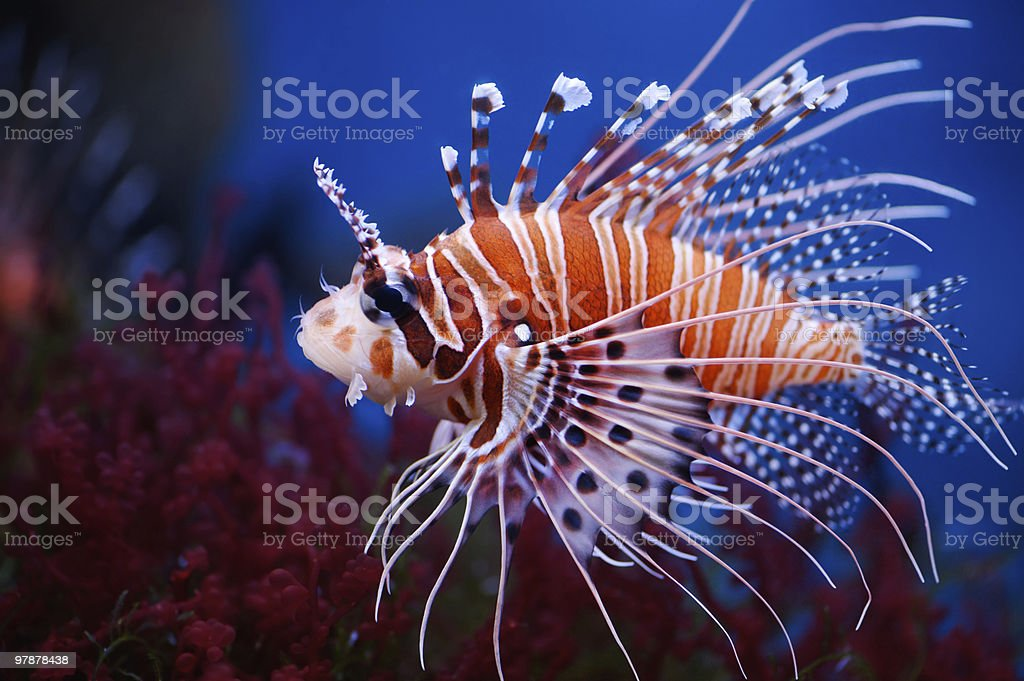 Colorful lionfish close up picture stock photo