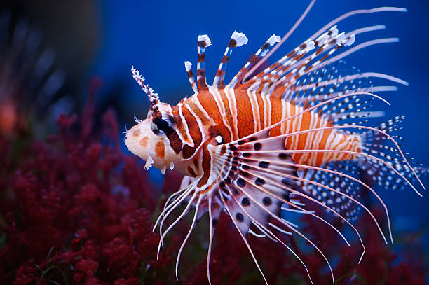colorful lionfish close up picture - lionfish stock photos and pictures