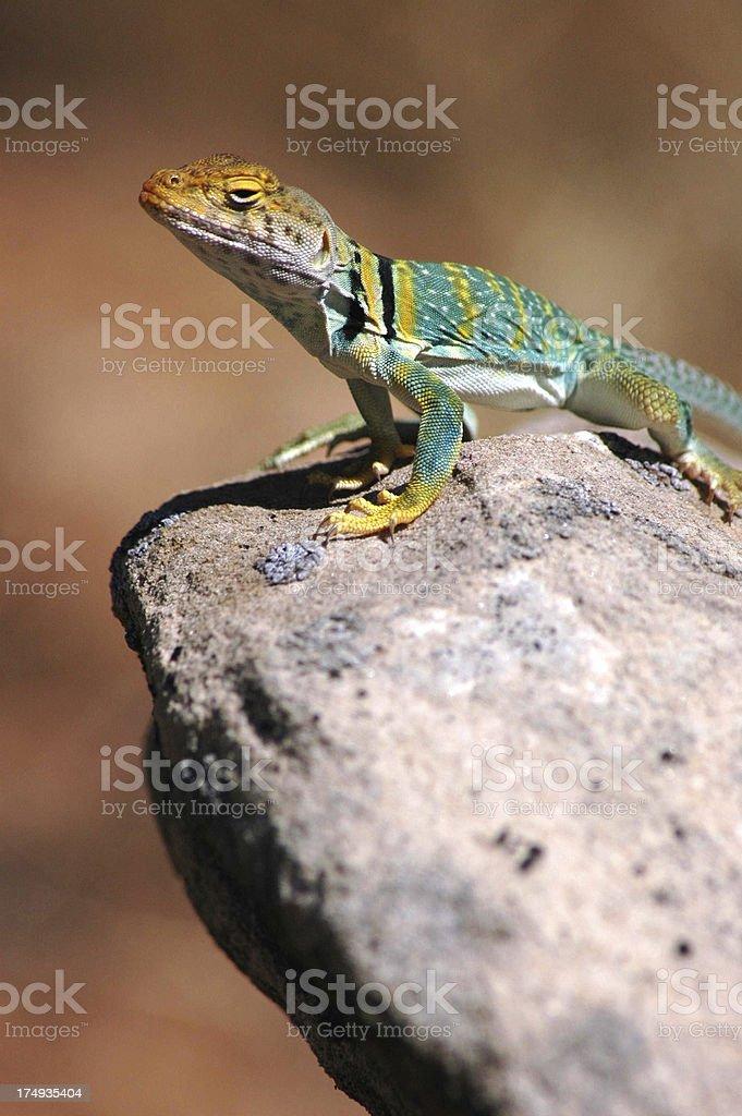 Colorful Lizard in Utah royalty-free stock photo