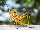 colorful lubber grasshopper clings to grass stalk