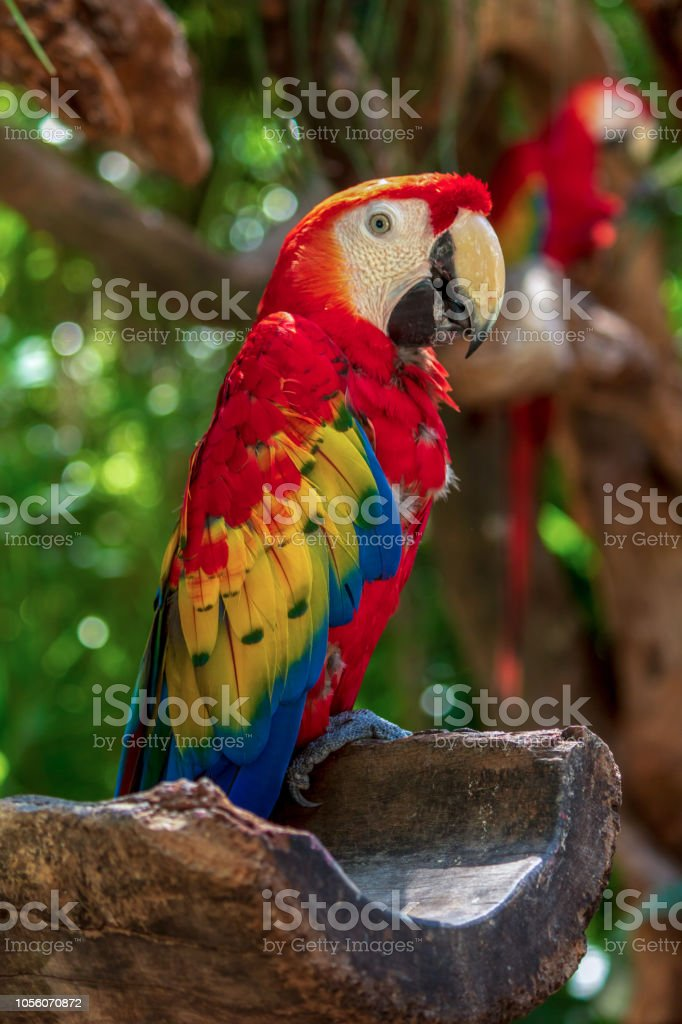 Pássaro arara coloridos descansando na selva - foto de acervo
