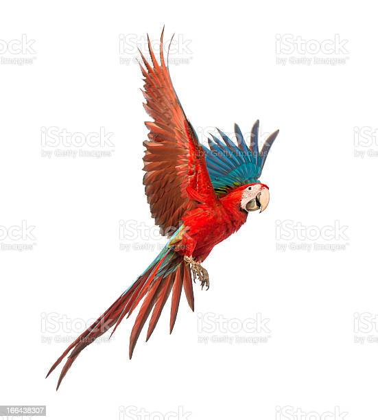 Colorful macaw in flight over white background picture id166438307?b=1&k=6&m=166438307&s=612x612&h=dev8imgr9bo3cfihgpt4c1nf 34h mdfsjvutj9vvju=