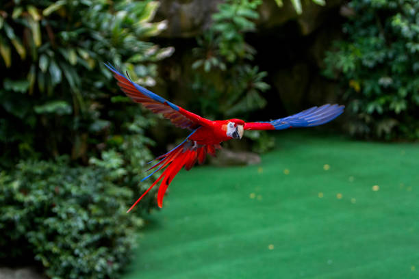 Colorful Macaw in flight stock photo