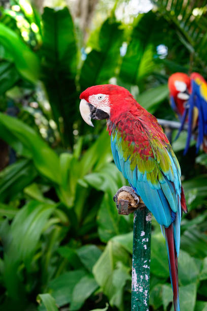 colorful macaw parrot stading on the steel branch - green winged macaw stock photos and pictures