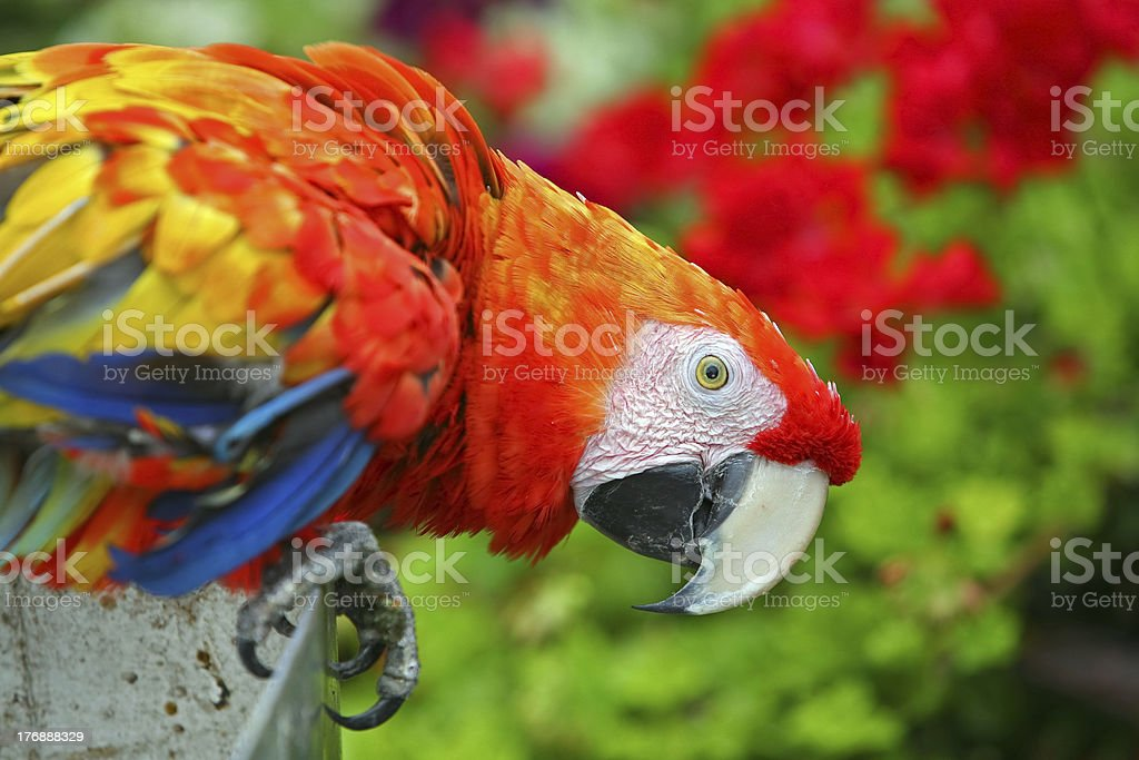 Colorful Macaw royalty-free stock photo