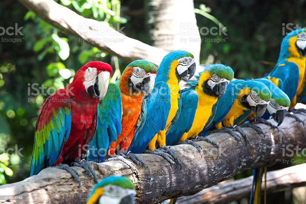 Colorful macaws Colorful macaws Africa Stock Photo