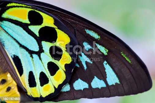 Richmond Birdwing butterfly background  This butterfly is also referred to as the Cairns Birdwing. This was shot horizontal but can be used as a vertical orientation,  Makes a beautiful print or greeting card.