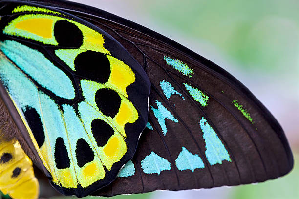 colorful male birdwing butterfly background (ornithoptera priamus) - animal wing stock photos and pictures