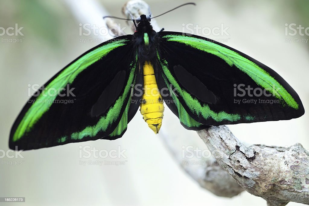 colorful Male Birdwing butterfly (Ornithoptera priamus) stock photo