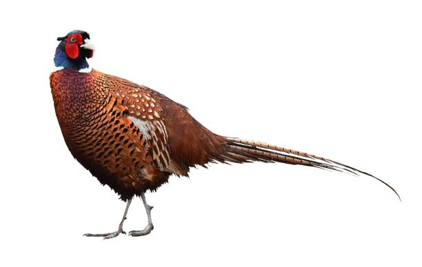 colorful male pheasant bird whole body isolated on white background stock photo