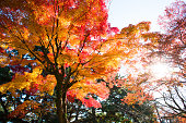 Japanese Maple, Autumn Leaf Color, Autumn, Forest, Maple Tree
