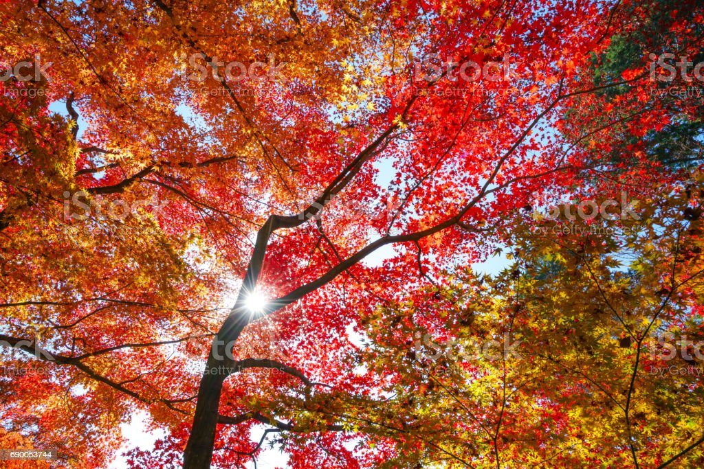Colorful maple leaf in autumn stock photo