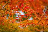 カラフルなメープルリーフ秋の