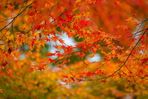 colorful maple leaf in autumn - maple leaf stock pictures, royalty-free photos & images