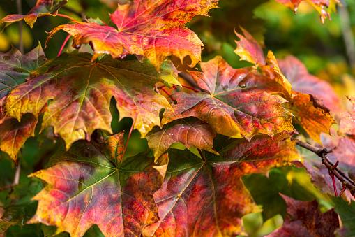 Maple leaf's in autumn. Autumn colors background.