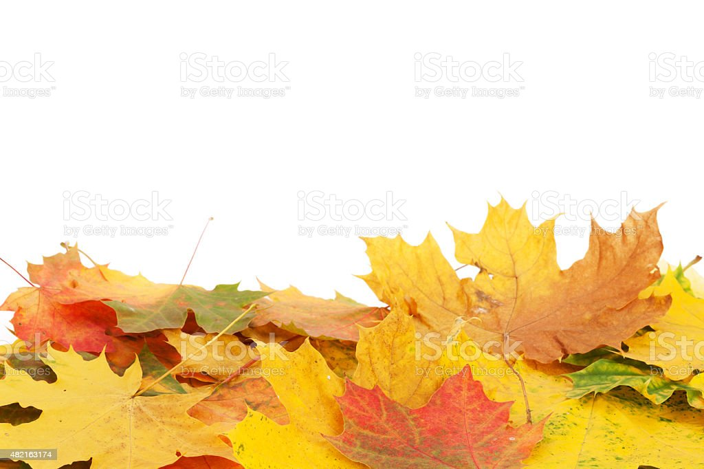Colorful maple leaves stock photo