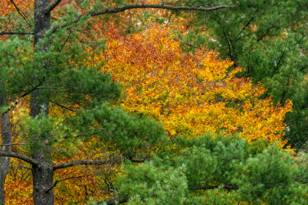 Colorful maple tree in Autumn