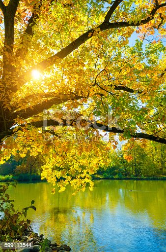 colorful beech treed in fall in afternoon light