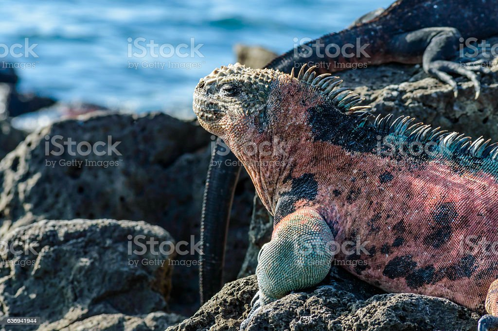 Colorful marine iguana stock photo