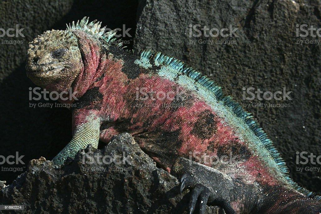 Colorful marine iguana resting on shore rocks stock photo