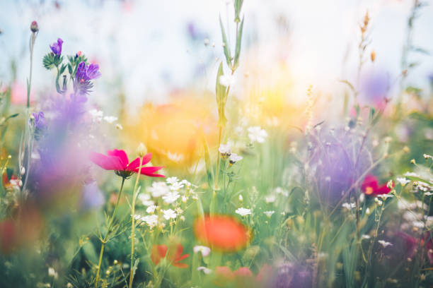 Colorful Meadow Summer meadow full of colorful flowers. meadow stock pictures, royalty-free photos & images