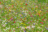 colorful meadow with wildflowers in summer
