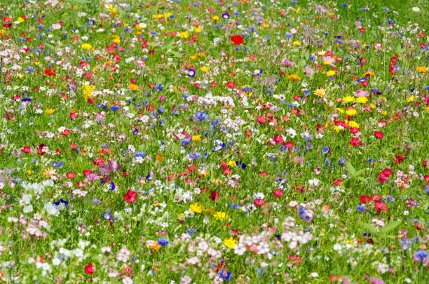 colorful meadow with wildflowers in summer stock photo