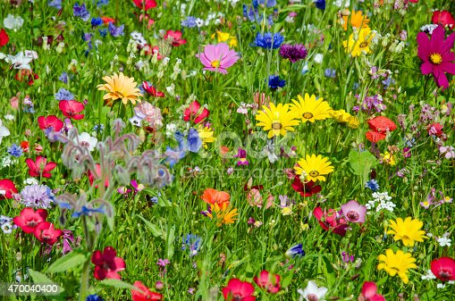 a lot of different flowers in a colorful wildflower meadow. Photo taken in June. More colorful meadows: