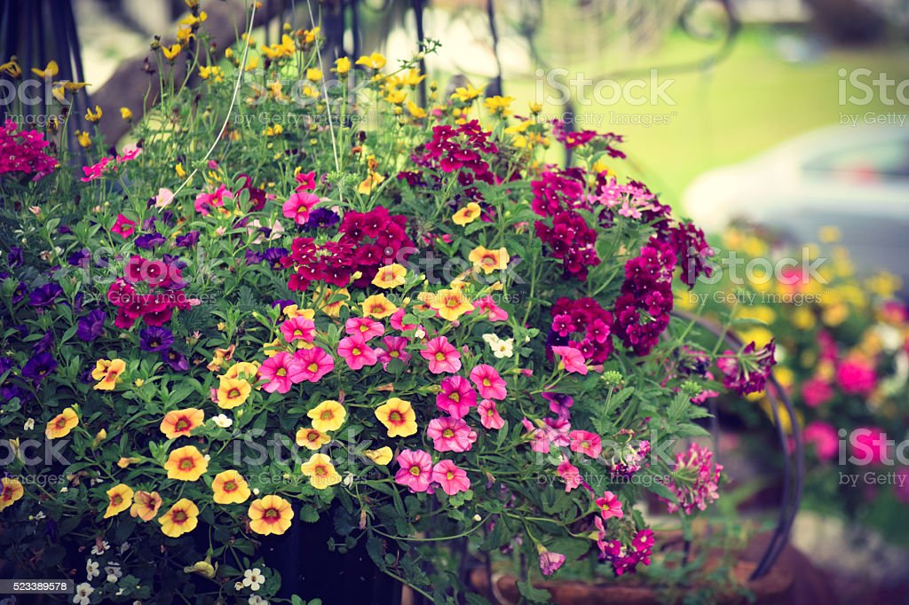 Colorful Mixed Annual Spring Summer Flowers Overflowing Hanging Basket stock photo