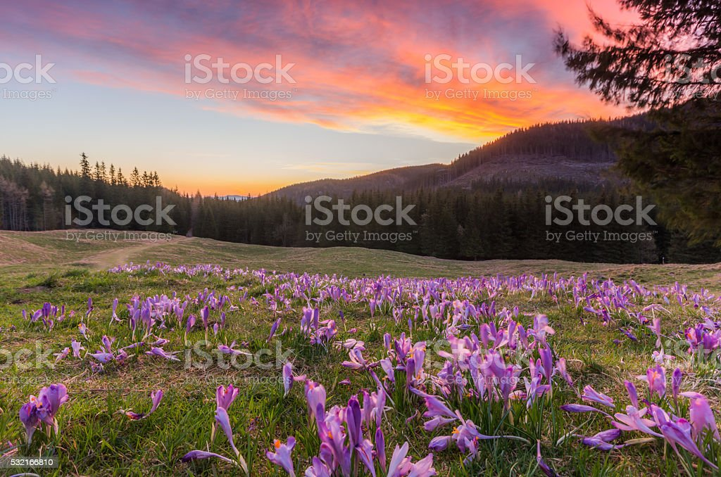 Colorful morning over crocuses field in Tatra mountains, Poland stock photo
