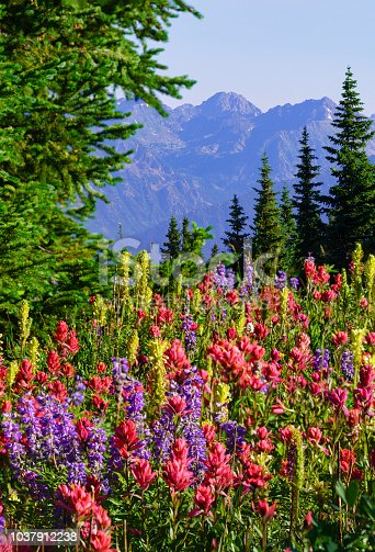 Colorful Mountain Wildflowers - Alpine flowers in summer mountains near Vail, Colorado USA.