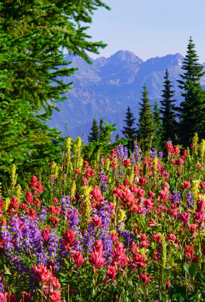 Colorful Mountain Wildflowers Colorful Mountain Wildflowers - Alpine flowers in summer mountains near Vail, Colorado USA. vail colorado stock pictures, royalty-free photos & images