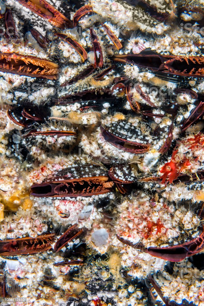Colorful mussels on a reef in California stock photo