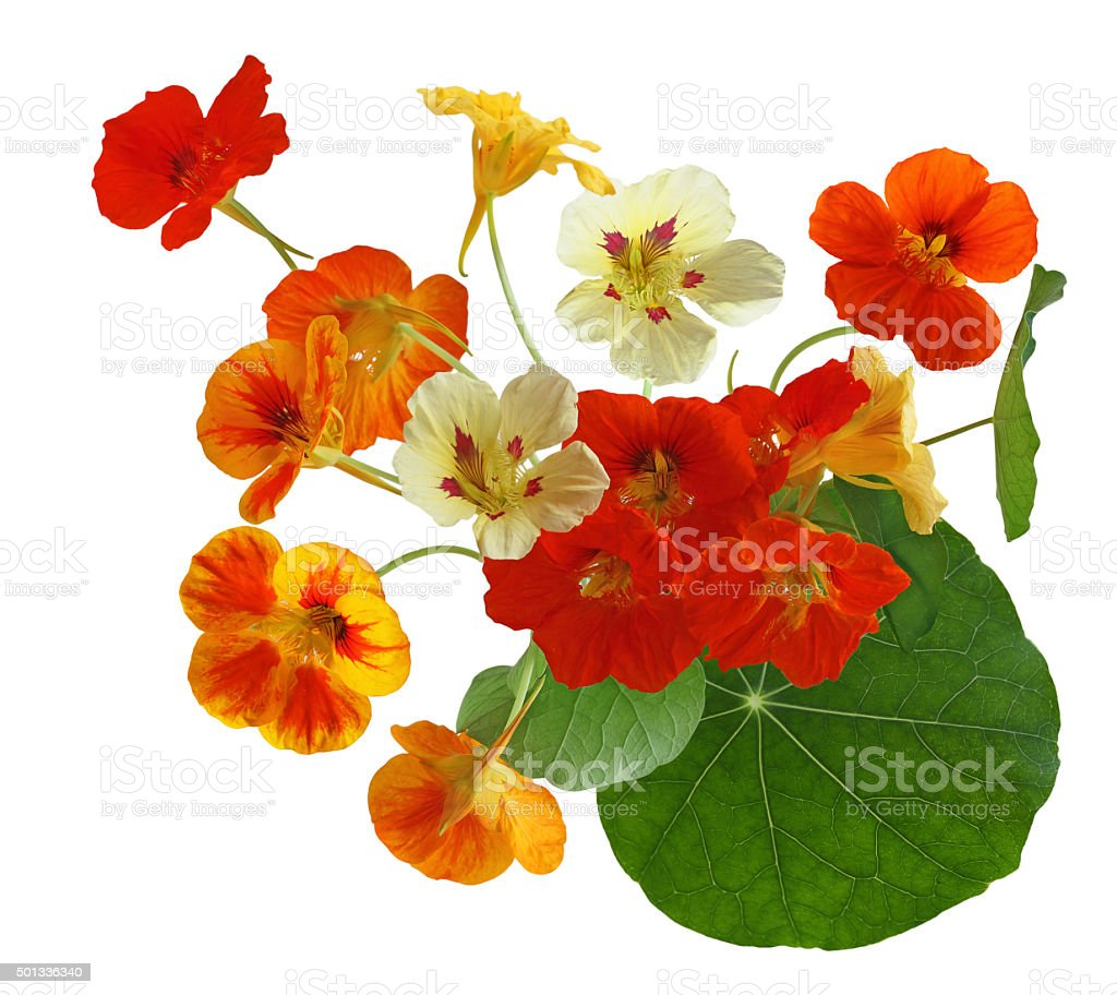 Colorful Nasturtium Flower stock photo