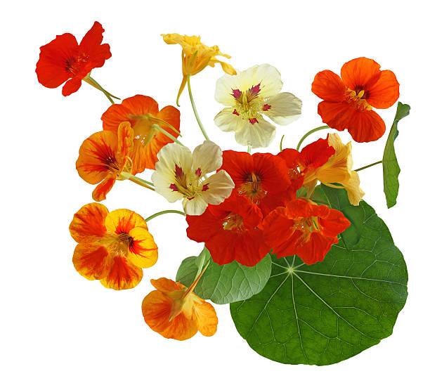 colorful nasturtium flower - nasturtium stock photos and pictures
