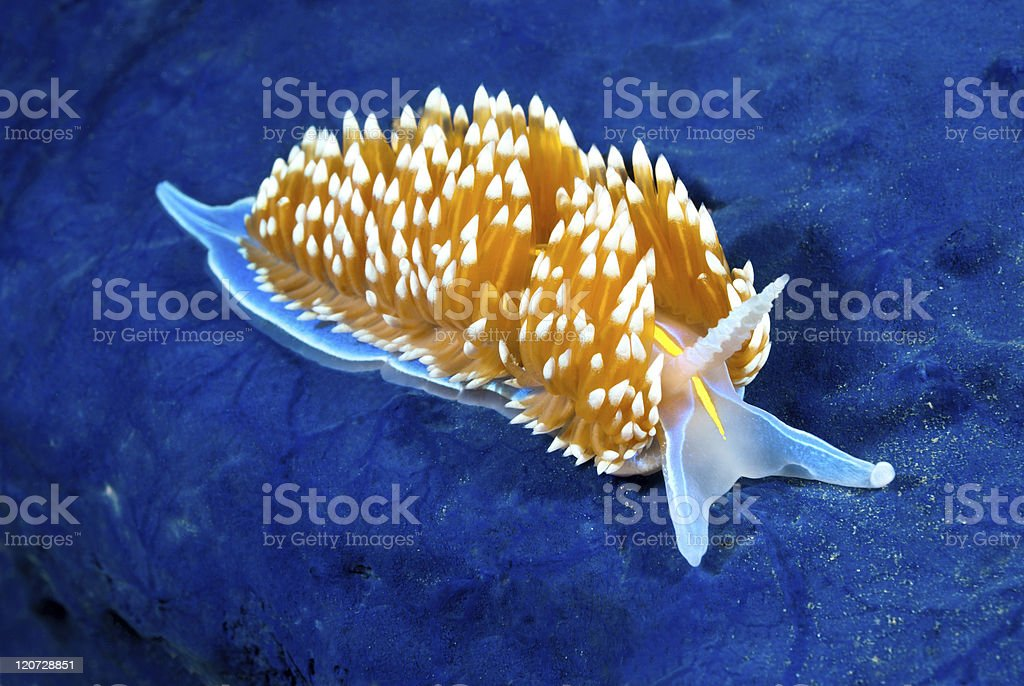 Colorful nudibranch stock photo