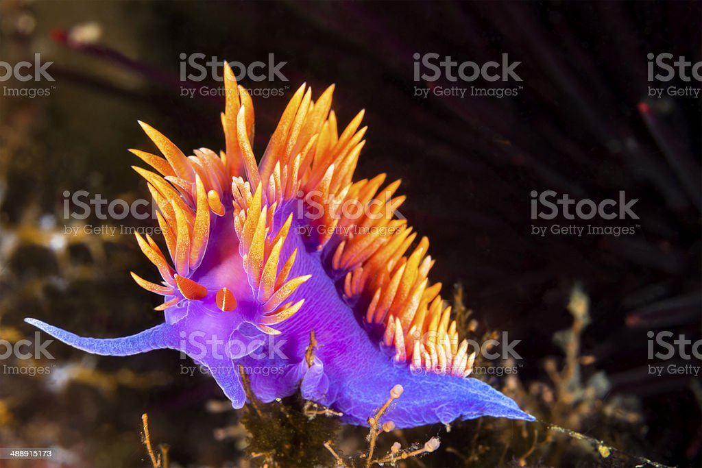 Colorful nudibranch A Spanish shawl nudibranch snail, commonly found in the Channel Islands of California, crawls on branching cnidarians in search of food. Animal Stock Photo