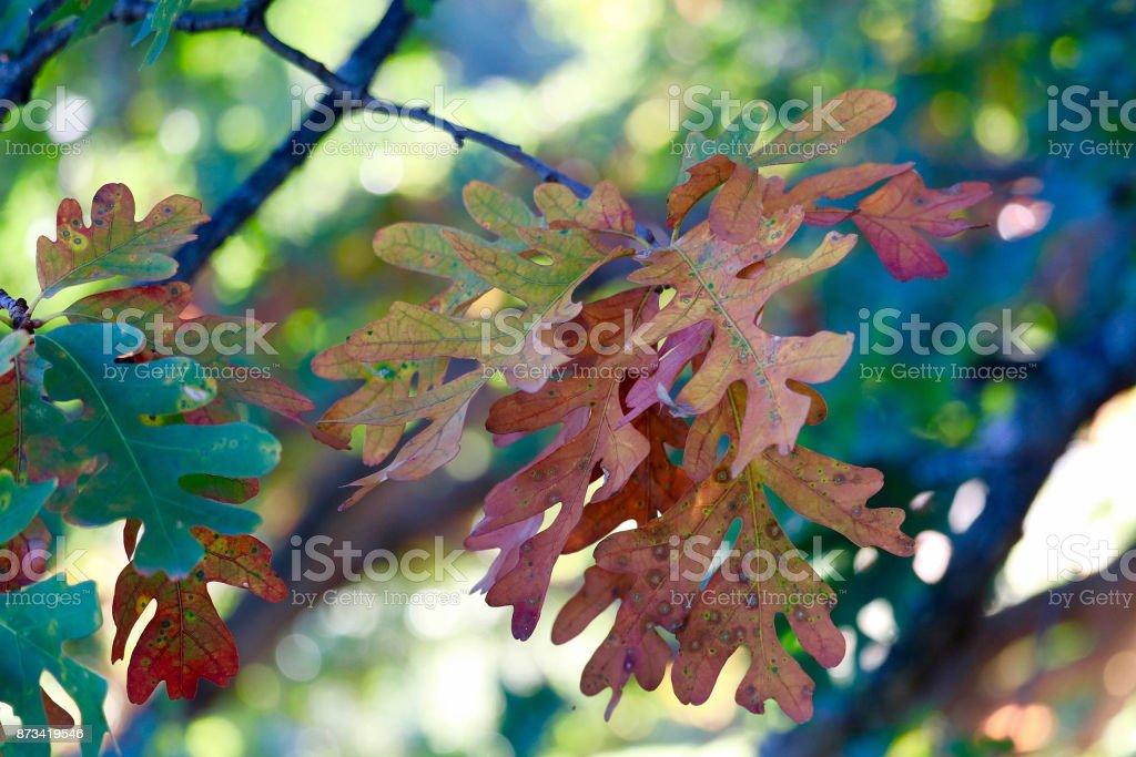 Colorful Oak Leaves in Autumn stock photo
