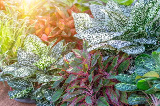 Colorful of Aglaonema plants in the garden. Variegated plants for beauty decoration and agriculture design. - foto stock