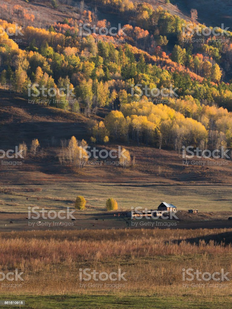 Colorful of autumn forest and on mountain from sunrise time in Hemu village, Xinjiang, China stock photo