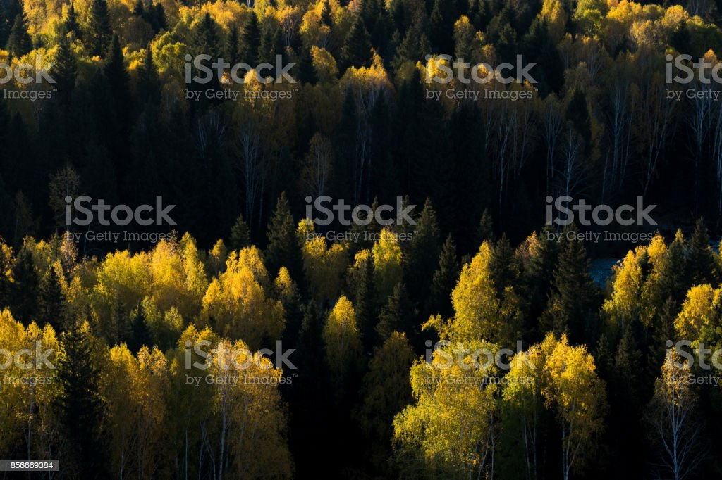 Colorful of autumn forest from sunrise time in Hemu village, Xinjiang, China stock photo
