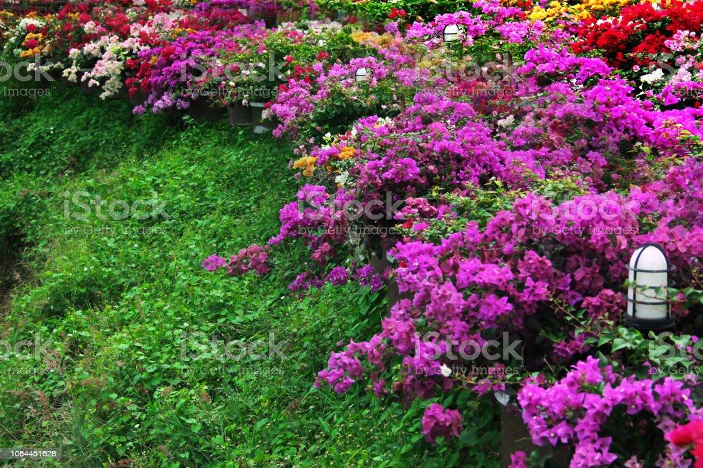 Colorido De Las Flores De Buganvillas En El Verde Césped En Jardín ...