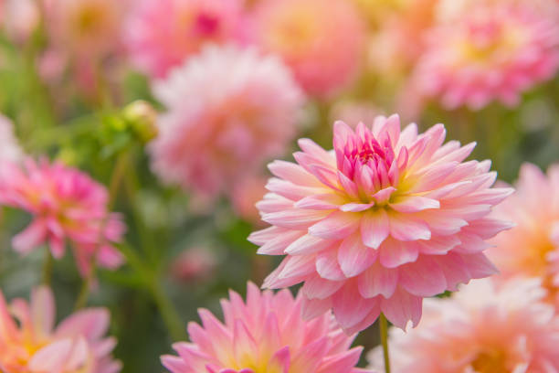 colorido de flor Dália rosa num belo jardim - foto de acervo