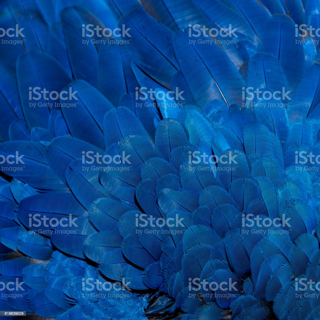 Colorful of Hyacinth Macaw bird's feathers - foto de acervo