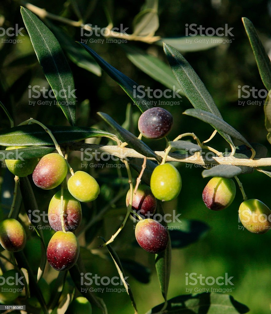 Colorful Olive Branch With Olives royalty-free stock photo